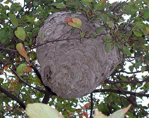 Избавляться от гнезда шершней нужно очень аккуратно, так как насекомые могут его весьма активно защищать, нападая на обидчика всем роем.