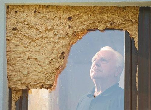Гнездо шершней может иногда находиться над входом в помещение, создавая прямую угрозу для тех, кто в него пытается зайти.