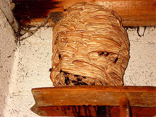 На фотографии показано шершневое гнездо, размещенное внутри помещения над его входом.
