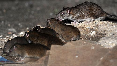 Компания Клоп Контроль проводит не только дезинсекцию, но и дератизацию помещений (уничтожение мышей и крыс)