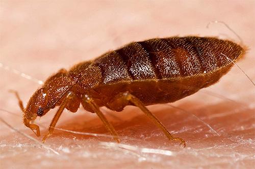 Одной из наиболее востребованных услуг компании Клоп Контроль является дезинсекция, то есть уничтожение насекомых.