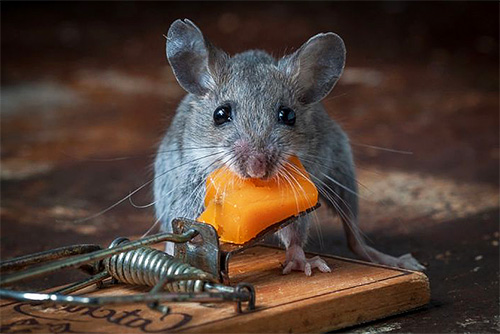 Уничтожение мышей и крыс в помещениях является также весьма востребованной услугой в Москве и области.