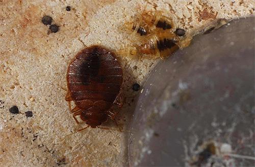 Для борьбы с насекомыми в Клоп Контроле применяют препараты преимущественно нервно-паралитического действия, которые при этом относительно безопасны для человека и животных.