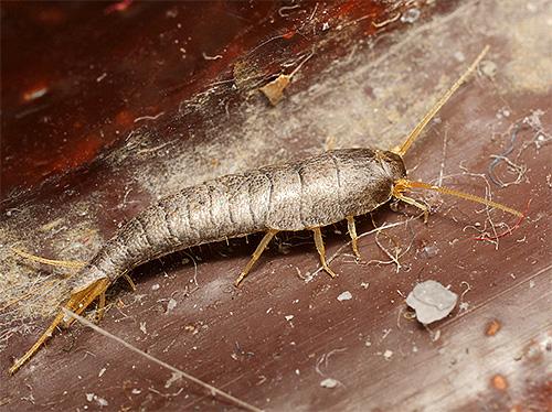 Чешуйница в квартире может питаться органическими остатками в пыли