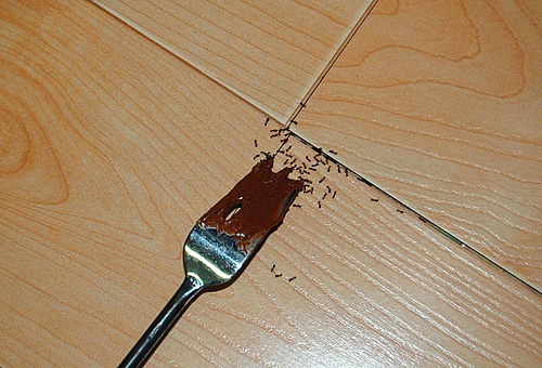 Делая шоколадный торт, помните, что его могут оценить не только ваши близкие, но и вредные фараоновы муравьи.