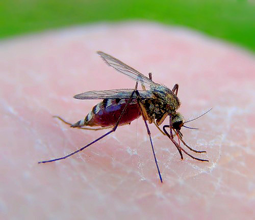 Эта самка комара прилетела в ваш дом с одной целью: выпить из вас как можно больше крови