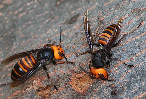 Гигантский азиатский шершень считается одним из самых опасных насекомых, укус которого может с достаточно высокой вероятностью приводить к смертельному исходу.