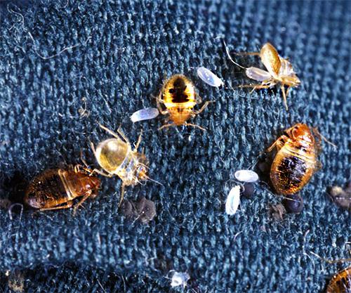 Вымораживание клопов нужно проводить хотя бы дважды с перерывом примерно в 2 недели, чтобы максимально полно уничтожить насекомых.