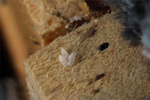 Яйца клопов зачастую выживают даже при использовании мощных инсектицидов, однако горячий пар их уничтожает практически мгновенно.