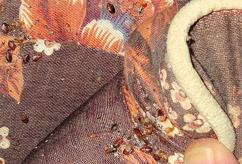 На фотографии показано гнездо клопов в складках дивана