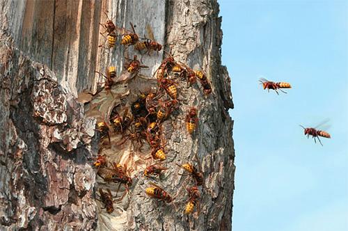 Если гнездо шершней находится в дупле дерева, инсектицидное средство можно просто залить туда, а вход закупорить пропитанной отравой тканью.