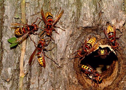 Пример гнезда шершней в дереве