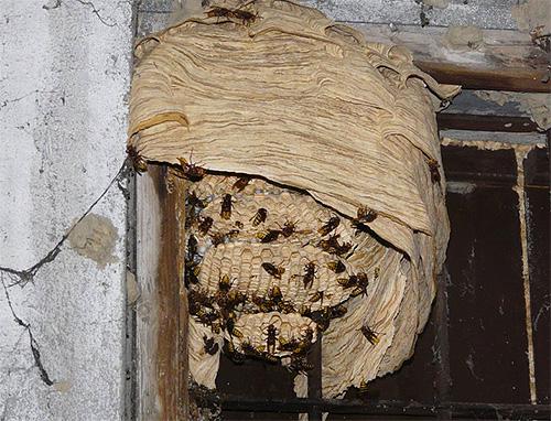 Применять средства против шершней и ос надо осторожно, поскольку разозленные насекомые могут нападать всем роем.
