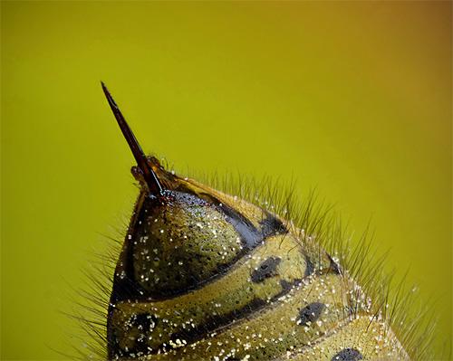 На фотографии показано жало осы - оно гладкое и не застревает в коже, поэтому насекомое может использовать его многократно.