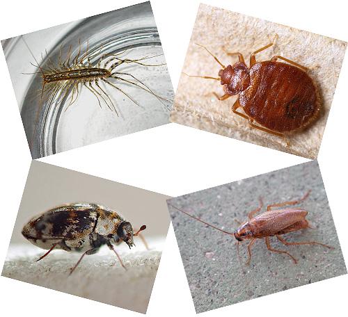 В доме рядом с человеком может жить множество насекомых, о которых мы далее и поговорим, с фотографиями, описанием образа жизни и последствий соседства с ними.