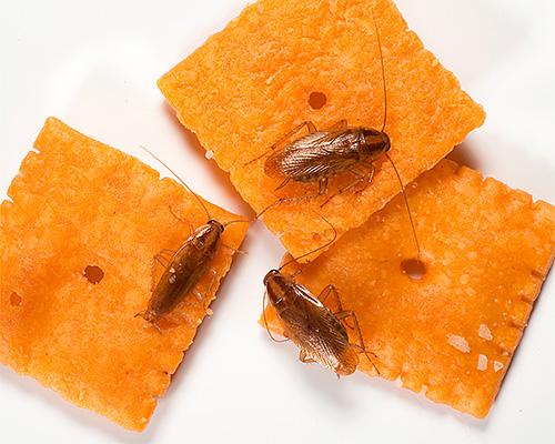 Домашние тараканы загрязняют продукты питания, когда перемещаются по ним, способствуя распространению инфекций.