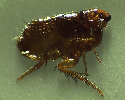 К кровососущим домашним насекомым-паразитам относятся также блохи