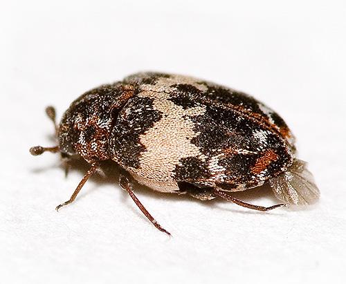 Так может выглядеть жук-кожеед при сильном увеличении