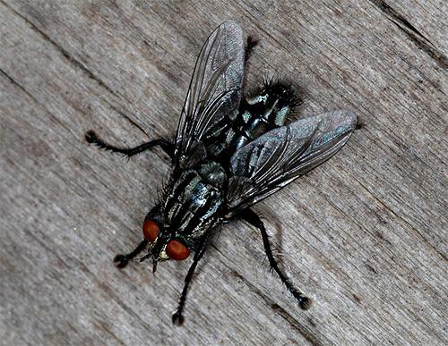Серая мсяная муха (Sarcophagidae)