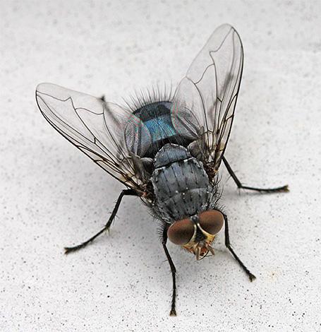А некоторые насекомые, которых можно встретить дома, являются здесь случайными гостями с улицы