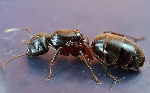 Красногрудый муравей-древоточец (Camponotus herculeanus)