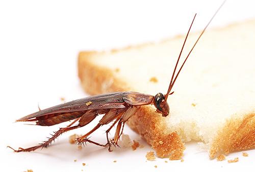 Рыжий таракан является одним из самых распространенных домашних насекомых-вредителей