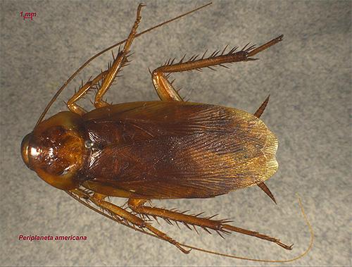 Американский таракан (на фото) постепенно становится все более распространенным и в нашей местности