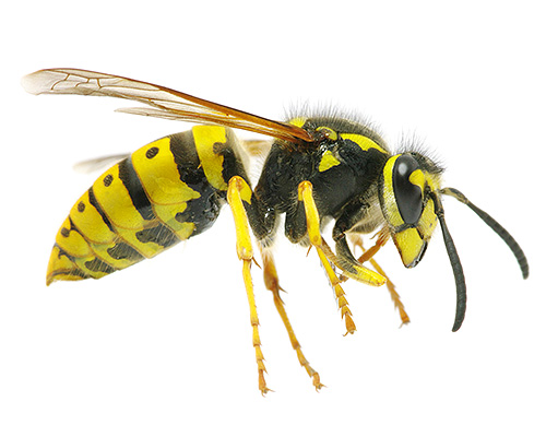 Укус осы чешется что делать