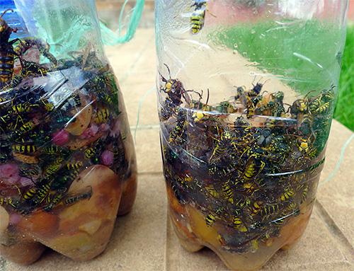 При добавлении в приманку отравляющего вещества без запаха можно существенно упростить процедуру освобождения ловушки от пойманных насекомых.