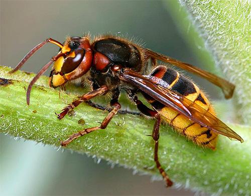 А вот шершни являются весьма крупными и сильными насекомыми, поэтому далеко не всякая клейкая лента от мух способна их удержать