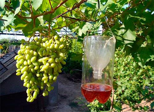 Такие ловушки от ос удобно подвешивать на ветвях деревьев или виноградника.
