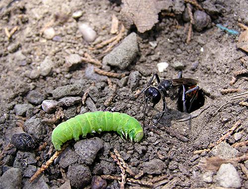 Фотография дорожной осы, нападающей на гусеницу