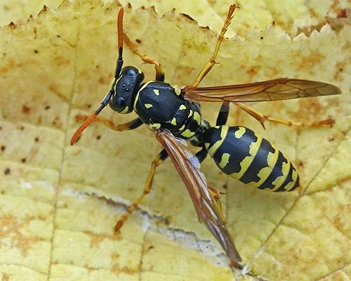Укусы бумажной осы не так болезненны, как дорожной, но также могут представлять опасность.