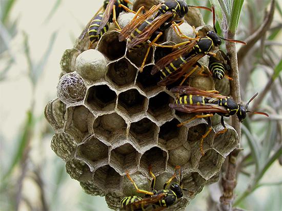 Когда осы решают построить свое гнездо в доме или просто на дачном участке, зачастую приходится от них избавляться - об этом мы и поговорим далее.