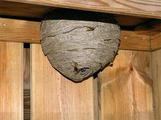 На фотографии показан еще один пример довольно крупного осиного гнезда