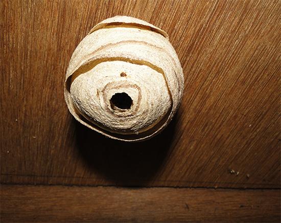 На ровном потолке гнездо можно уничтожить с помощью ведра с водой, фактически утопив насекомых.