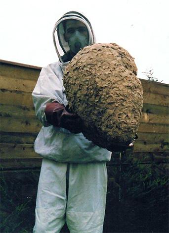 Иногда осиное гнездо может достигать гигантских размеров...
