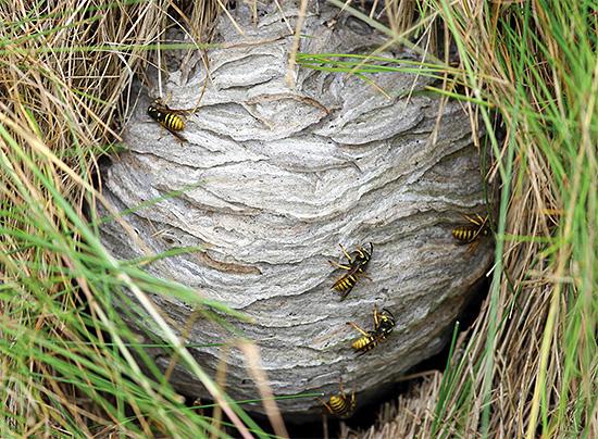 Иногда гнездо ос можно встретить прямо в траве.