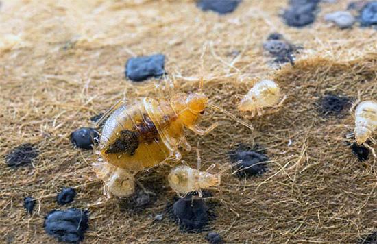 Через некоторое время из выживших яиц вылупятся маленькие личинки, которые с высокой вероятностью погибнут при контакте с обработанными поверхностями.