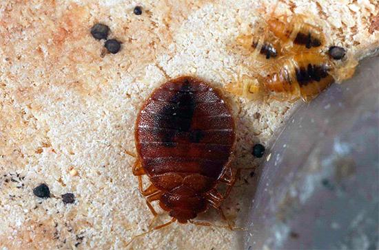 На фото показаны взрослая особь постельного клопа и личинки