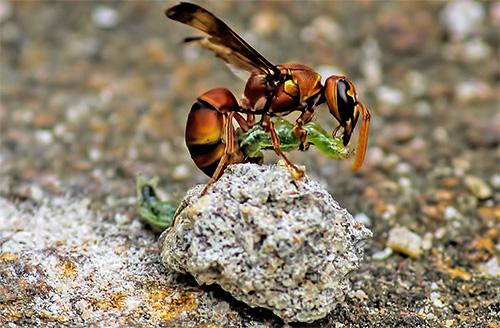Анатомические особенности ос позволяют им вступать в схватку и побеждать даже тех насекомых, которые больше их по размеру.