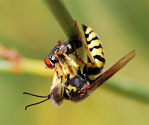 При охоте на насекомых осы практически не используют жало, а обходятся мощными челюстями.