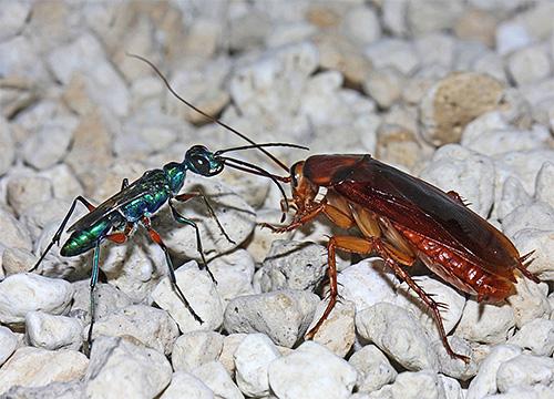 Изумрудная тараканья оса поражает мозг своей жертвы, после чего откладывает в нее яйца.