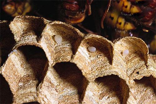 Яйца ос в гнезде - впоследствии из них вылупятся личинки