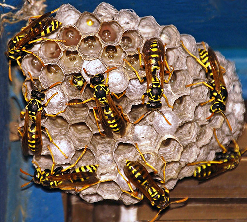 В конце сезона обитатели гнезда в большинстве своем гибнут.