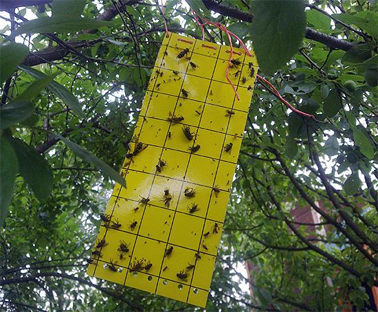 На фото показан пример липкой ловушки для летающих насекомых