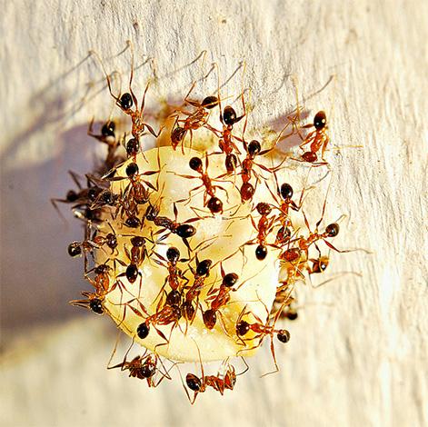 Для борьбы с домашними муравьями электрические ламповые уничтожители не подойдут.