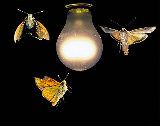 В темноте многие насекомые стремятся к источнику света