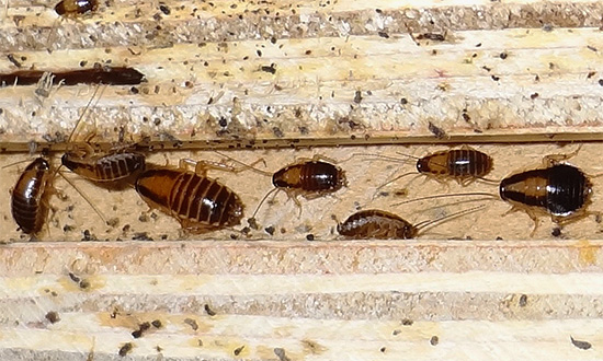 Дельта Зона уничтожает даже тех тараканов, которые успели выработать устойчивость к некоторым другим инсектицидам.
