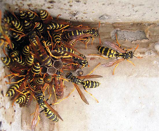 Правильно оказанная первая помощь после укуса осы помогает свести к минимуму вероятность развития тяжелых и даже опасных для жизни состояний.